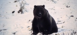 Another Sign of Spring: Yellowstone Bears Emerge from Hibernation