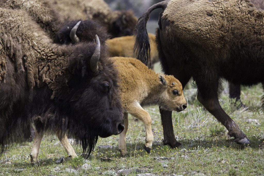 Bison_and_Red_Dog
