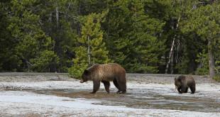 grizzly bear daisy geyser