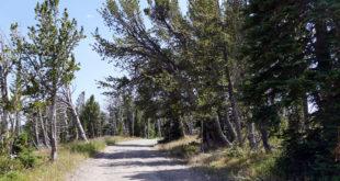 whitebark pine 2015