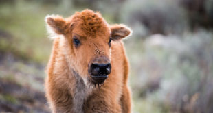 bison-calf-may-10-2014