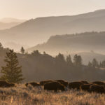 bison herd lamar valley october 2015