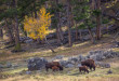 bison_in_fall