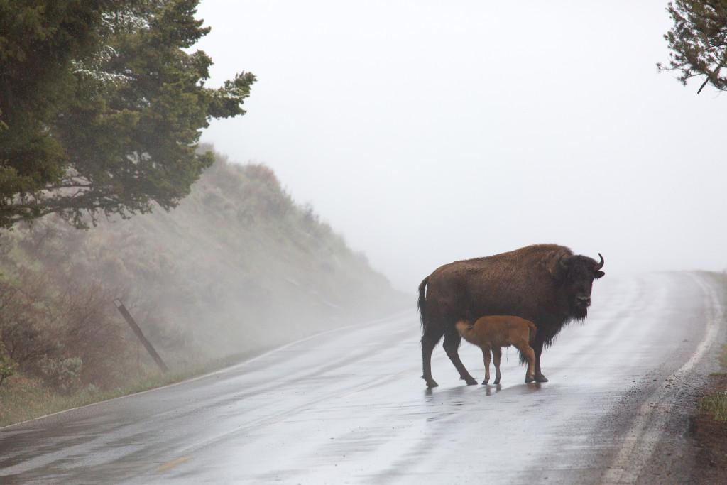 bison, national mammal