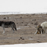canyon pack wolves lower geyser basin