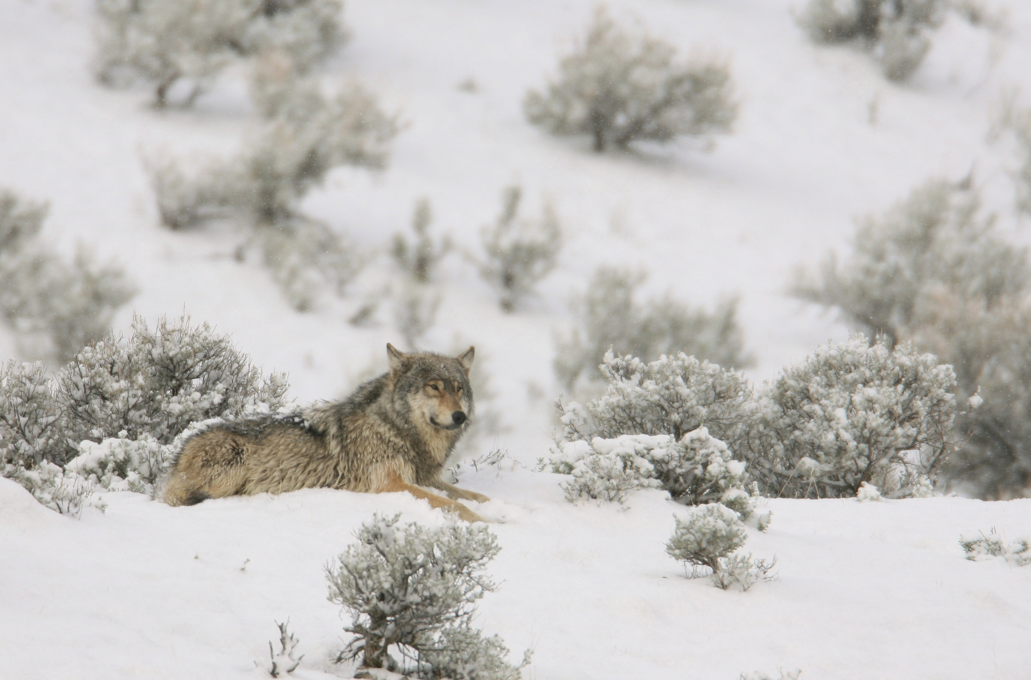 quotyellowstone is the mecca to see wolvesquot says national