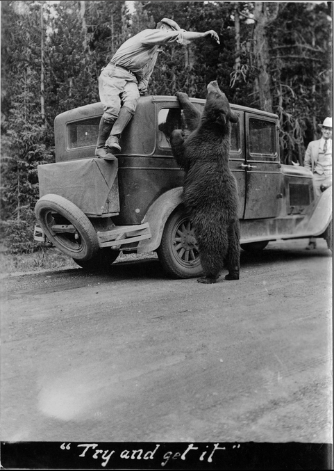 Feeding yearling bear in YNP date and photographer unknown