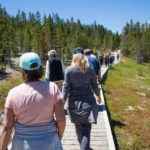 Busy Boardwalk at Norris Geyser Basin.