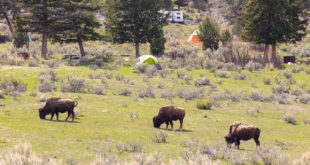 Bison at Mammoth Campground, May 2019