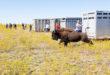 Fort Peck bison release