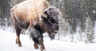 Yellowstone bison, winter 2020, NPS